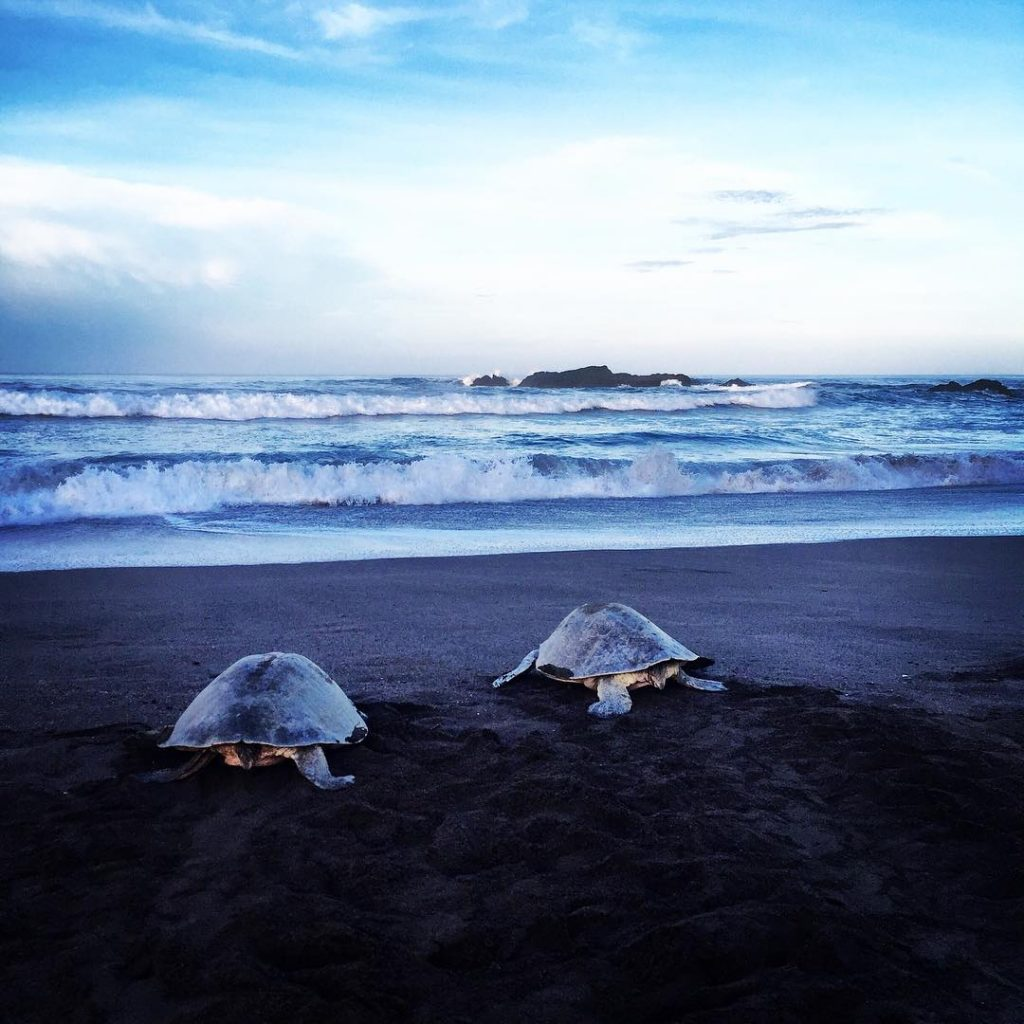Turtles in Ostional, photo credit yogabylauralucy