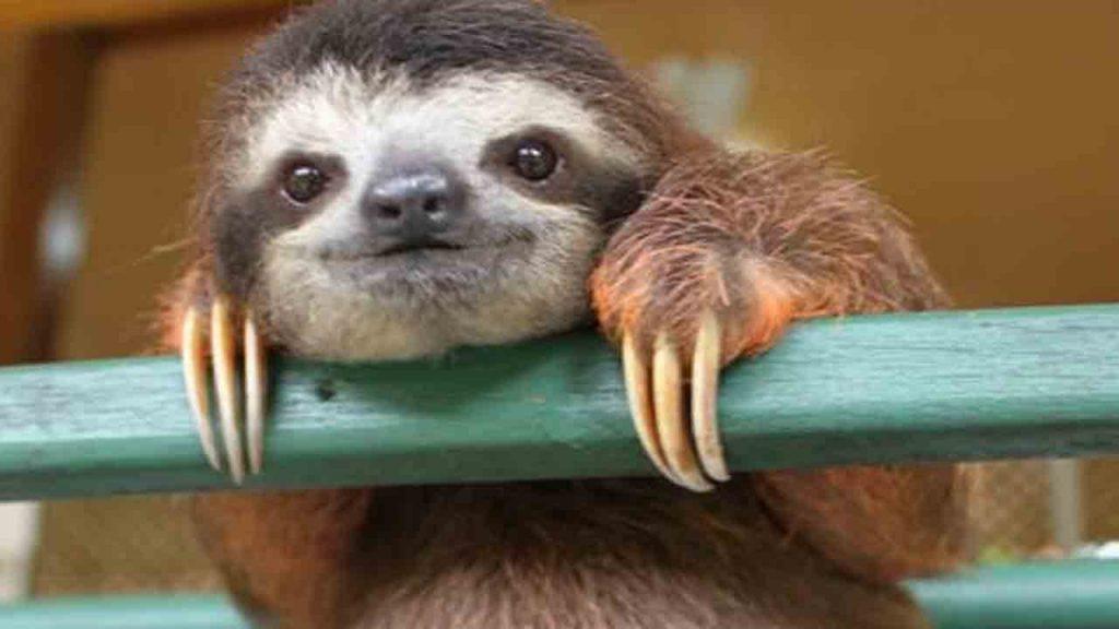 Three fingered sloth, photo credit Wikimedia.
